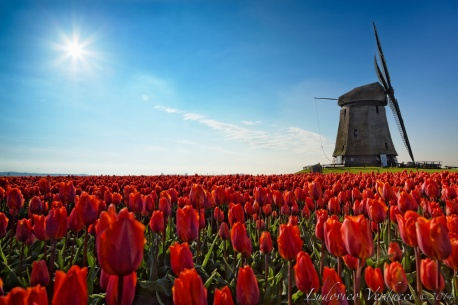 Sun, tulips and windmills